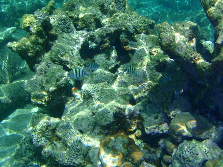 SargentMajorFish